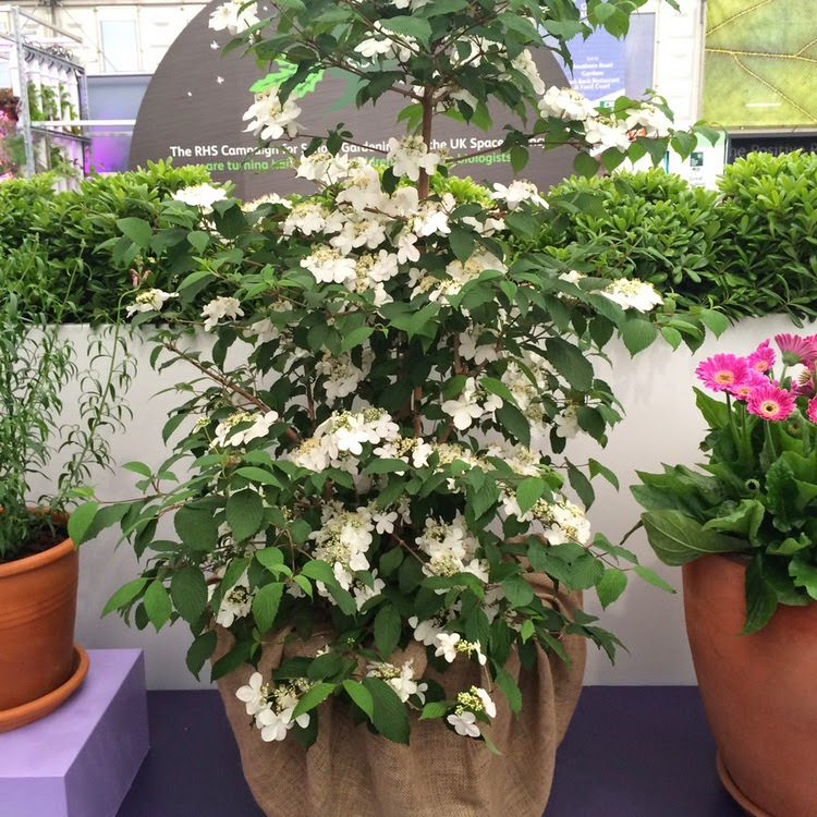 "A flor do ano no ""RHS Chelsea Flower Show"""